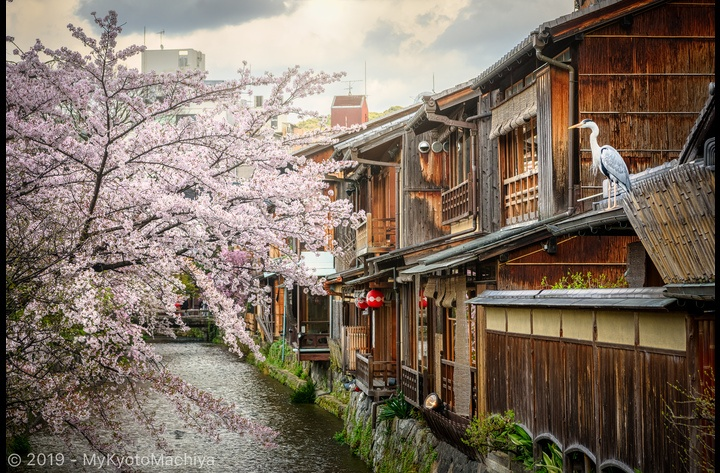 The Shirakawa river in April, during the cherry blossom season -- another one of Kyoto iconic views.