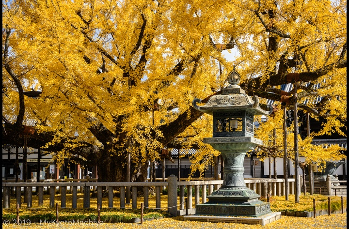 A scene at the Nishi Honganji Temple in the Fall. As headquarter of one of the two factions of the Jodo-Shin Sect (True Pure Land Sect), one of Japan's largest Buddhist sects, this is a good place to experience contemporary Japanese Buddhism.